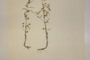 <strong>Plantaginaceae - Bacopa floribunda (R.Br.) Wettst.</strong><br />© Alain CARRARA / CIRAD