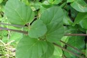 <strong>Nyctaginaceae - Boerhavia diffusa L.</strong><br />© Pascal MARNOTTE / CIRAD