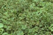 <strong>Nyctaginaceae - Boerhavia diffusa L.</strong><br />© Thomas LE BOURGEOIS / CIRAD