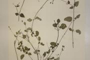 <strong>Nyctaginaceae - Boerhavia diffusa L.</strong><br />© Alain CARRARA / CIRAD