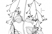 <strong>Nyctaginaceae - Boerhavia diffusa L.</strong><br />© David JOHNSON / AfricaRice