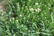 <strong>Brassicaceae - Lepidium draba L.</strong><br />© Estelle DOMINATI / Cirad