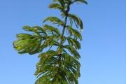 <strong>Ceratophyllaceae - Ceratophyllum demersum L.</strong><br />© Estelle DOMINATI / Cirad