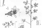 <strong>Cleomaceae - Cleome viscosa L.</strong><br />© François KAMGA TCHAYE / CIRAD