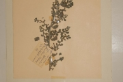 <strong>Boraginaceae - Coldenia procumbens L.</strong><br />© Alain CARRARA / CIRAD
