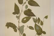 <strong>Malvaceae - Corchorus aestuans L.</strong><br />© Alain CARRARA / CIRAD