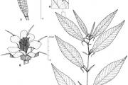 <strong>Malvaceae - Corchorus olitorius L.</strong><br />© François KAMGA TCHAYE / CIRAD