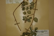 <strong>Melastomataceae - Heterotis rotundifolia (Sm.) Jacq.-Fél.</strong><br />© Alain CARRARA / CIRAD