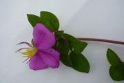 <strong>Melastomataceae - Heterotis rotundifolia (Sm.) Jacq.-Fél.</strong><br />© Jean ASSI YAPO / Herbarium national de l'Université d'Abidjan