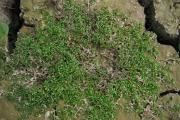 <strong>Elatinaceae - Elatine triandra Schkuhr</strong><br />© Estelle DOMINATI / Cirad