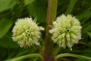 <strong>Lamiaceae - Hyptis lanceolata Poir.</strong><br />© Thomas LE BOURGEOIS / CIRAD