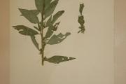 <strong>Hydrophyllaceae - Hydrolea glabra Schum. & Thonn.</strong><br />© Alain CARRARA / CIRAD