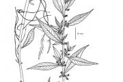<strong>Hydrophyllaceae - Hydrolea glabra Schum. & Thonn.</strong><br />© Aya Lazare AMON / Herbarium national de l'Université d'Abidjan
