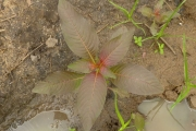 <strong>Onagraceae - Ludwigia abyssinica A.Rich.</strong><br />© Thomas LE BOURGEOIS / CIRAD