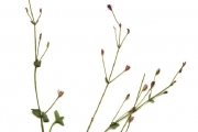 <strong>Linderniaceae - Lindernia crustacea (L.) F.Muell.</strong><br />© Cyril CRUSSON / CIRAD