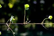 <strong>Marsileaceae - Marsilea crenulata Desv.</strong><br />© Pierre GRARD/ CIRAD