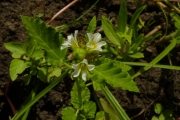 <strong>Malvaceae - Melochia corchorifolia L.</strong><br />© Thomas LE BOURGEOIS / CIRAD