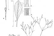 <strong>Molluginaceae - Mollugo nudicaulis Lam.</strong><br />© François KAMGA TCHAYE / CIRAD