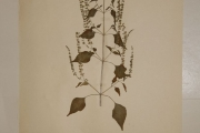 <strong>Lamiaceae - Basilicum polystachyon (L.) Moench.</strong><br />© Alain CARRARA / CIRAD