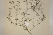 <strong>Rubiaceae - Oldenlandia corymbosa L.</strong><br />© Alain CARRARA / CIRAD