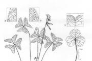 <strong>Oxalidaceae - Oxalis latifolia Kunth</strong><br />© Alain CARRARA / CIRAD
