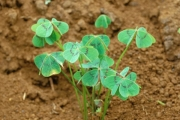 <strong>Oxalidaceae - Oxalis latifolia Kunth</strong><br />© Thomas LE BOURGEOIS / CIRAD