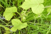 <strong>Passifloraceae - Passiflora foetida L.</strong><br />© Gerald KYALO / AfricaRice