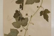 <strong>Passifloraceae - Passiflora foetida L.</strong><br />© Alain CARRARA / CIRAD