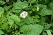 <strong>Passifloraceae - Passiflora foetida L.</strong><br />© Nora BAKKER / CIRAD