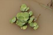 <strong>Araceae - Pistia stratiotes L.</strong><br />© Alain CARRARA / CIRAD