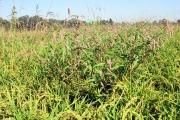 <strong>Polygonaceae - Persicaria lapathifolia (L.) S.F.Gray</strong><br />© Estelle DOMINATI / Cirad