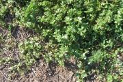 <strong>Portulacaceae - Portulaca oleracea L.</strong><br />© Estelle DOMINATI / Cirad