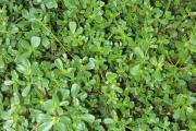 <strong>Portulacaceae - Portulaca oleracea L.</strong><br />© Pascal MARNOTTE / CIRAD