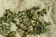 <strong>Portulacaceae - Portulaca oleracea L.</strong><br />© Thomas LE BOURGEOIS / CIRAD