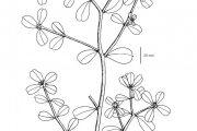 <strong>Portulacaceae - Portulaca oleracea L.</strong><br />© Jean ASSI YAPO / Herbarium national de l'Université d'Abidjan