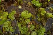 <strong>Salviniaceae - Salvinia molesta D.S.Mitch.</strong><br />© Thomas LE BOURGEOIS / CIRAD