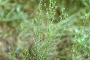 <strong>Plantaginaceae - Scoparia dulcis L.</strong><br />© Thomas LE BOURGEOIS / CIRAD