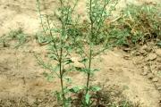 <strong>Plantaginaceae - Scoparia dulcis L.</strong><br />© Michel DEAT / CIRAD