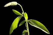 <strong>Sphenocleaceae - Sphenoclea zeylanica Gaertn.</strong><br />© Alain CARRARA / CIRAD