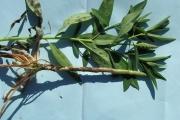 <strong>Sphenocleaceae - Sphenoclea zeylanica Gaertn.</strong><br />© Sarra SOUNGALO