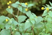 <strong>Asteraceae - Acmella uliginosa (Sw.) Cass.</strong><br />© Thomas LE BOURGEOIS / CIRAD