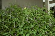<strong>Verbenaceae - Stachytarpheta indica (L.) Vahl</strong><br />© Cirad