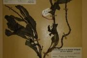 <strong>Verbenaceae - Stachytarpheta indica (L.) Vahl</strong><br />© Alain CARRARA / CIRAD