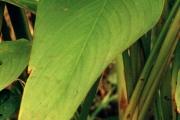 <strong>Marantaceae - Thalia geniculata L.</strong><br />© Cyril CRUSSON / CIRAD