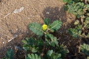 <strong>Tribulaceae - Tribulus terrestris L.</strong><br />© Thomas LE BOURGEOIS / CIRAD