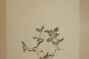 <strong>Tribulaceae - Tribulus terrestris L.</strong><br />© Alain CARRARA / CIRAD