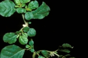 <strong>Aizoaceae - Trianthema portulacastrum L.</strong><br />© Henri MERLIER / CIRAD