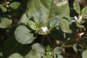 <strong>Aizoaceae - Trianthema portulacastrum L.</strong><br />© Alain CARRARA / CIRAD