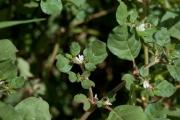 <strong>Aizoaceae - Trianthema portulacastrum L.</strong><br />© Pierre GRARD/ CIRAD