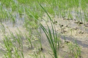 <strong>Typhaceae - Typha domingensis Pers.</strong><br />© Estelle DOMINATI / Cirad